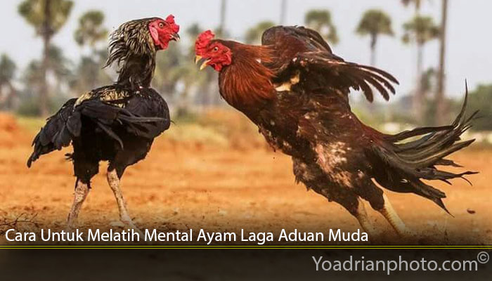 Cara Untuk Melatih Mental Ayam Laga Aduan Muda