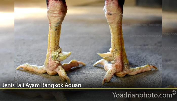 Jenis Taji Ayam Bangkok Aduan