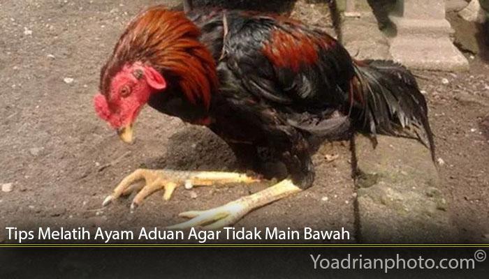 Tips Melatih Ayam Aduan Agar Tidak Main Bawah