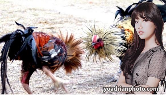 Hal-Faktor-Yang-Mendukung-Kemenangan-Dalam-Bermain-Sabung-Ayam