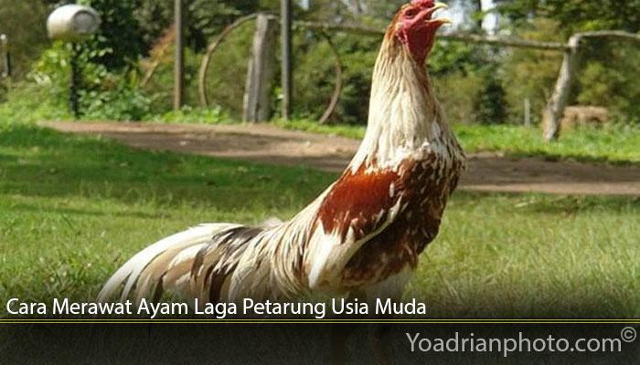 Cara Merawat Ayam Laga Petarung Usia Muda