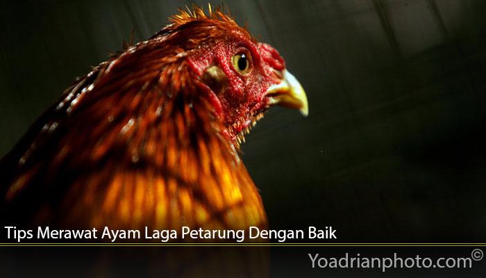 Tips Merawat Ayam Laga Petarung Dengan Baik
